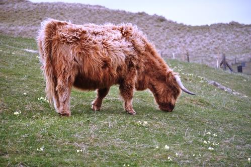 Outer Hebrides Highland Cow