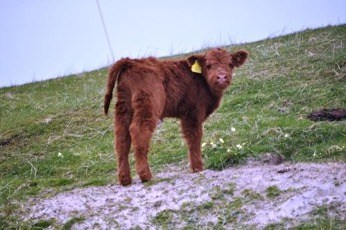 Outer Hebrides Highland cattle