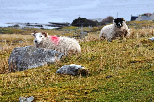 Sheep on the Outer Hebrides