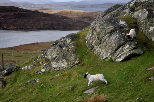 Outer Hebrides lambs